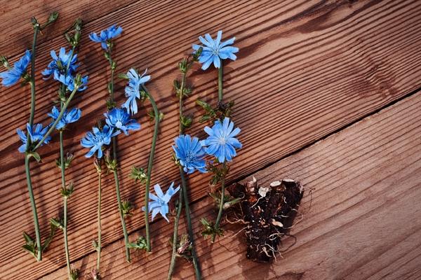 민들레는 사실 영양 성분이 뛰어난 식용 꽃이다. 특히 민들레 잎의 경우 서양에선 수프나 파스타에 곁들이기도 한다. 하지만 씁쓸한 맛이 강하다는 것이 특징이다. 민들레 잎은 칼슘, 망간, 철, 비타민A와 비타민K가 풍부하다. 백내장과 황반변성으로부터 눈을 보호하는 카로티노이드인 루틴과 제아잔틴을 함유하고 있다. 또한 민들레 잎에는 100g당 4g의 이눌린 형태의 식이섬유가 들어 있다. 스페인 IMDEA 식품 연구소에서 진행된 연구에 따르면 민들레 잎에 들어 있는 이눌린은 변비를 줄이고, 장내 박테리아 증가와 면역 체계 향상에 좋다.
